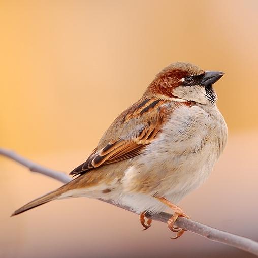 Domači vrabec (Passer domesticus)
