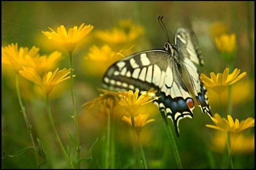 Življenje na traviščih popestrijo tudi metulji, ki so z rastlinami neločljivo povezani v vseh fazah razvojnega kroga.
