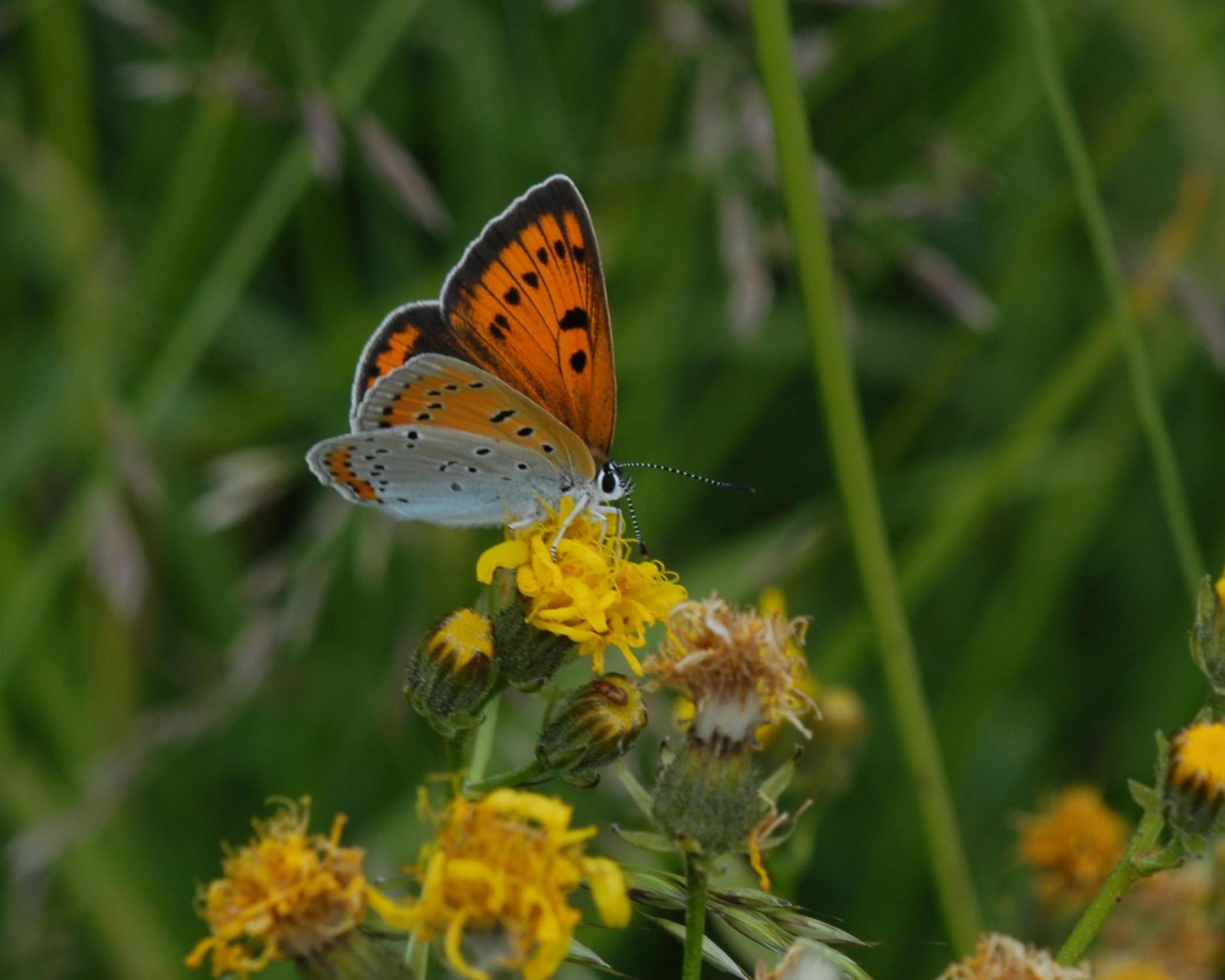 4.Jan je bil naš najvidnejši poznavalec metuljev. Na sliki močvirski cekinček (Lyacena dispar). Foto: Slavko Polak