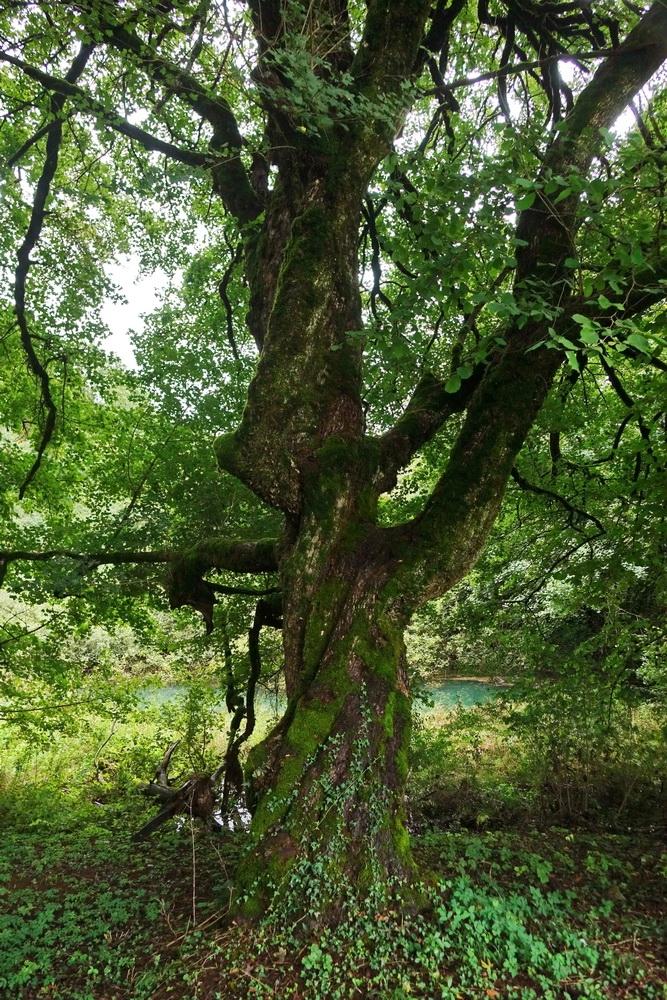 Več kot 100 let staro drevo maklen