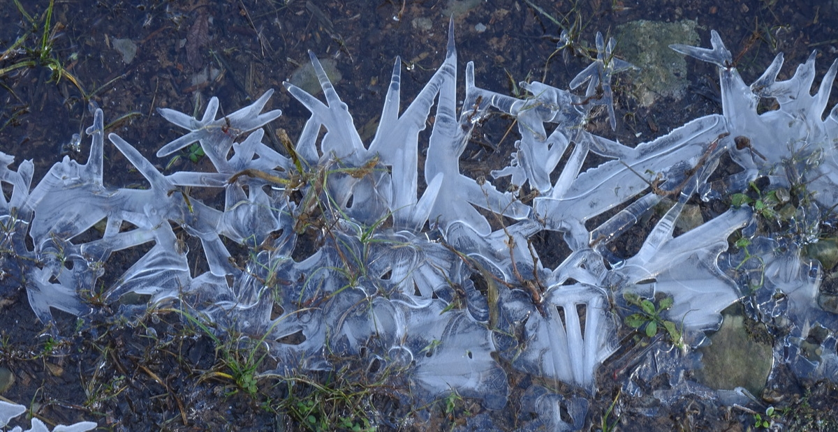 Ledene rožice. Foto Tine Šubic