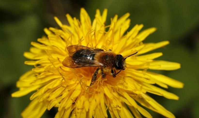 Divja čebela- ena od ključnih junakinj monitoringa opraševalcev. Foto NRP