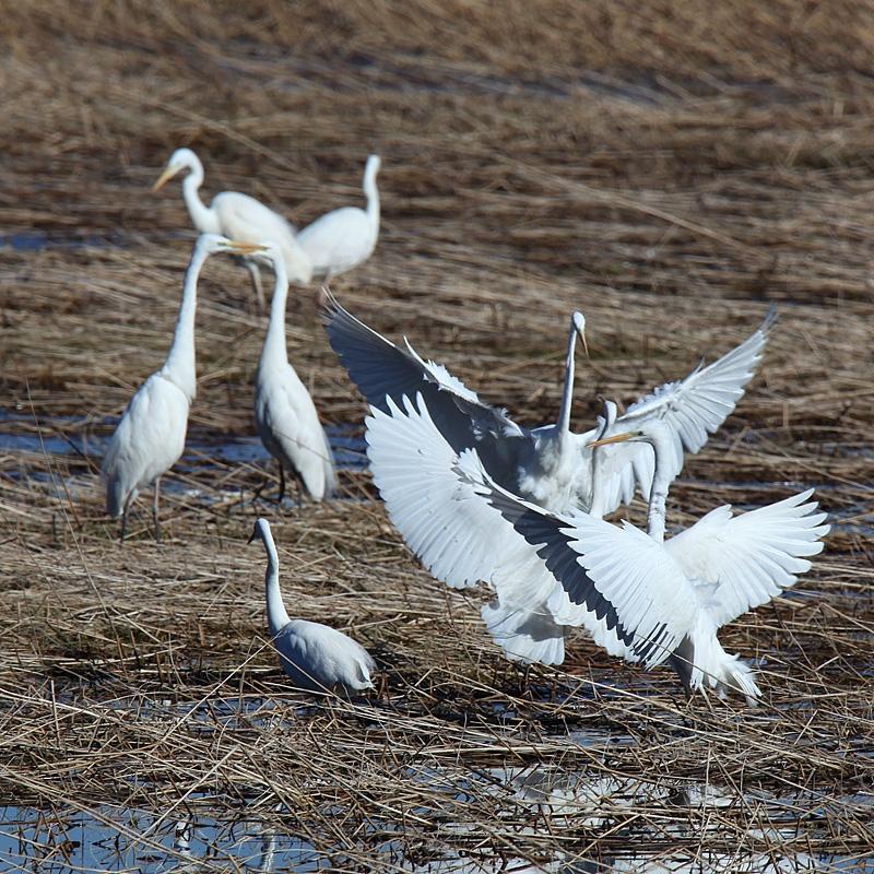 Štetje vodnih ptic na Cerkniškem jezeru neprekinjeno poteka že 24 let