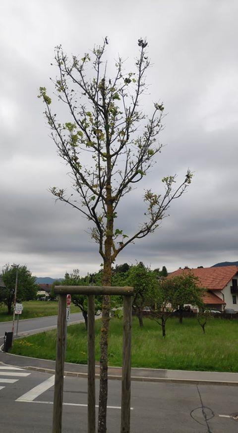Množica majskih hroščev na drevesu v središču Cerknice
