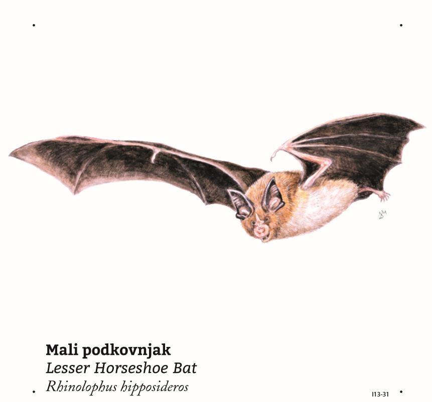Na kocki bodo zanimive informacije o jamskem netopirju