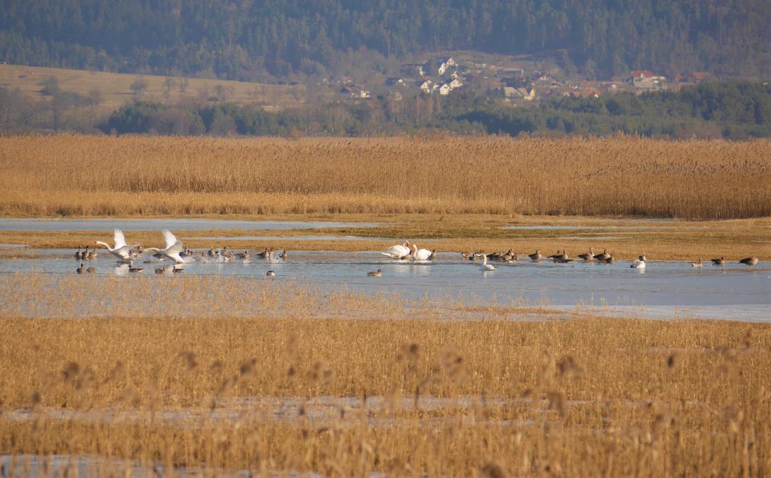 Cerkniško jezero s pticami. Foto NRP