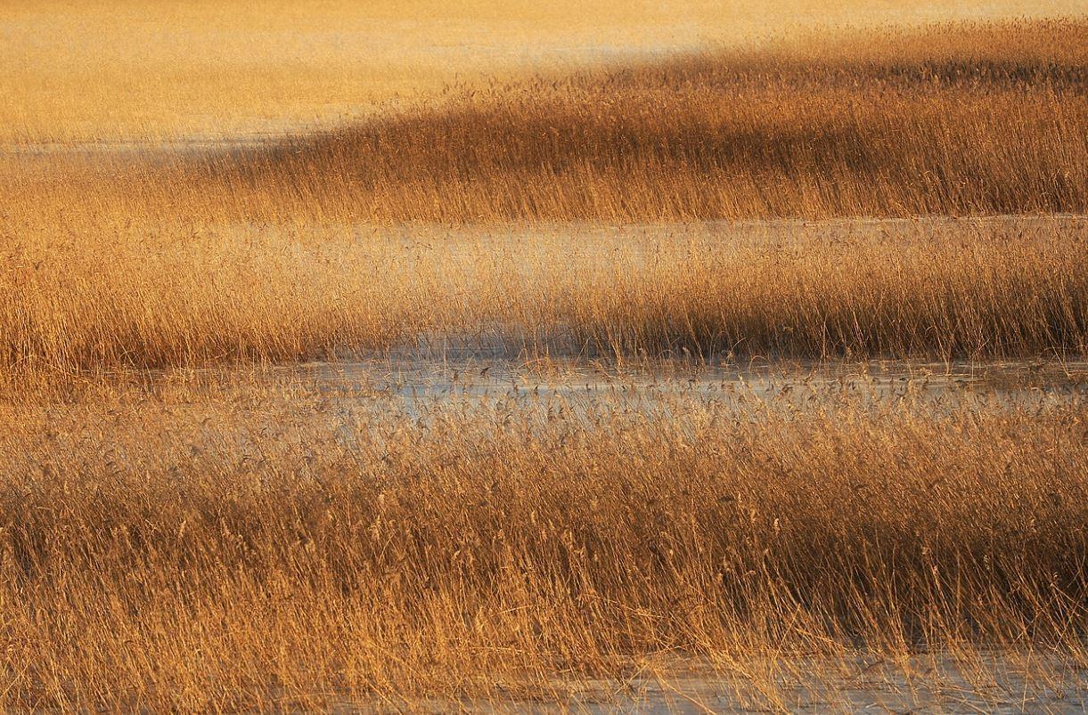 Bobnarica večino časa preživi v zavetju trstičja, s katerim se s svojo rjavo barvo obesedno zlije