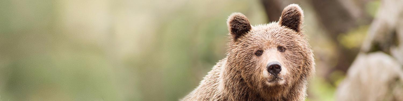 Rjavi medved (Ursus arctos)