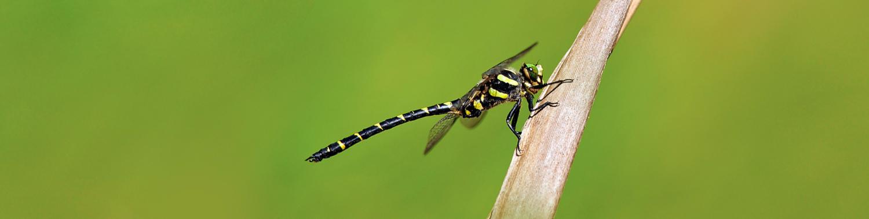 Goldenring (Cordulegaster sp.)